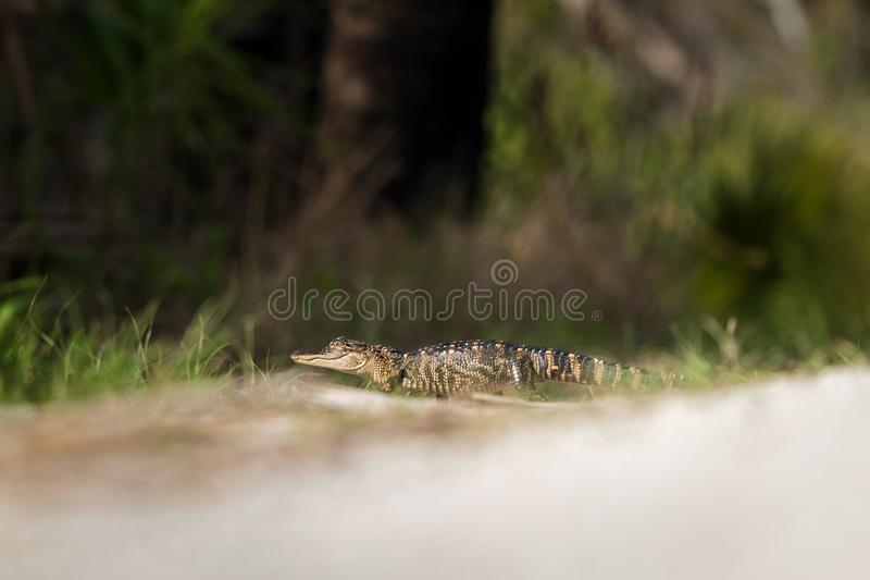 Potrait of gator. American alligator (Alligator mississippiensis) looking at camera. Selective focus on head of Gator royalty free stock photos