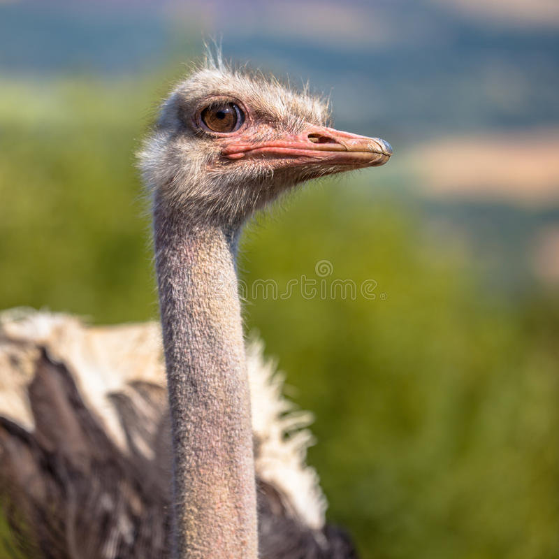 Free Potrait Of An African Male Ostrich Stock Images - 89324764