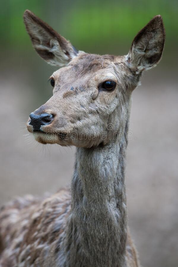 Potrait of a red deer Cervus elaphus. At Nyiregyhaza Zoo, Hungary stock images