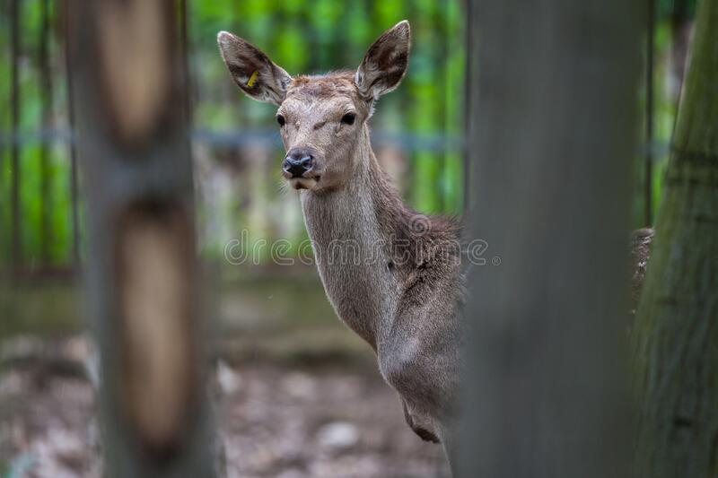 Potrait of a red deer Cervus elaphus. At Nyiregyhaza Zoo, Hungary royalty free stock image