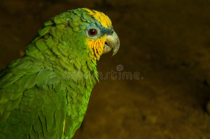 A potrait of a wild yellow headed parrot in the jungle of Ecuador. Those parrots are threatened royalty free stock images