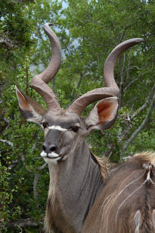 Potret von einem Kudu stockfotografie