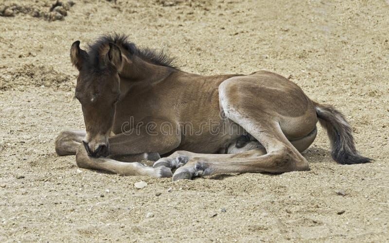 Potro árabe que encontra-se para baixo dormida em Sandy Arena foto de stock royalty free