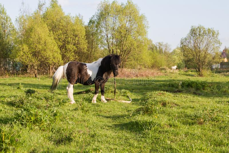Potro blanco y negro de la raza del caballo Los caballos pastan en el prado El caballo est? comiendo la hierba foto de archivo