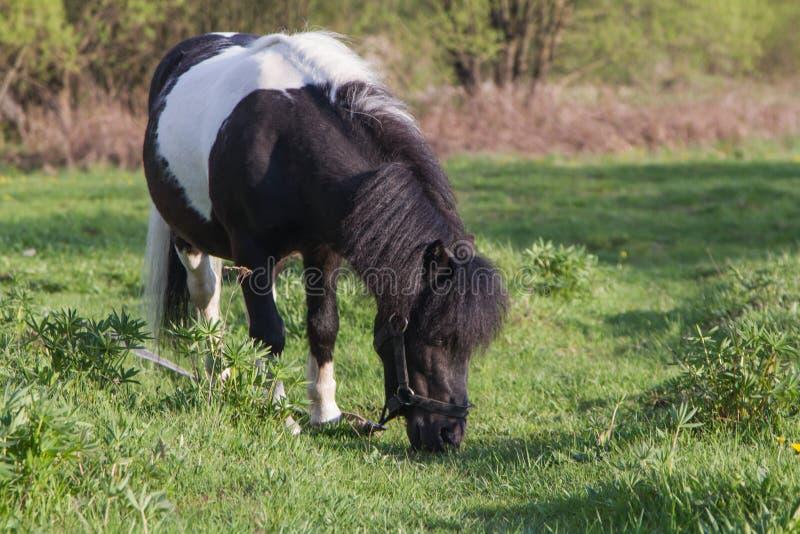 Potro blanco y negro de la raza del caballo Los caballos pastan en el prado El caballo est? comiendo la hierba fotos de archivo libres de regalías