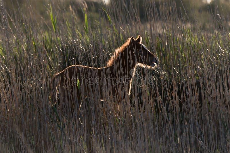 Potro, caballo de Camargue fotografía de archivo libre de regalías
