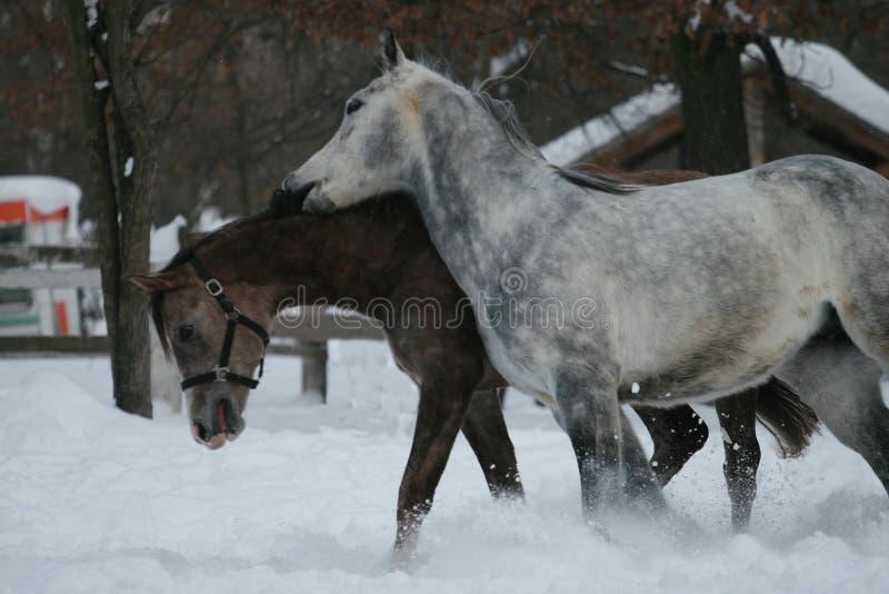 Potro castrando superior das mordidas Cavalos árabes foto de stock