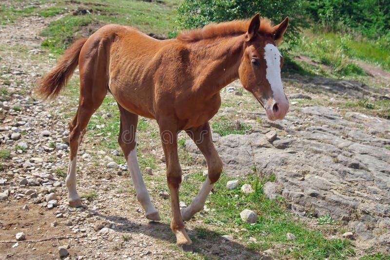 potro Cavalo pequeno manchado foto de stock royalty free