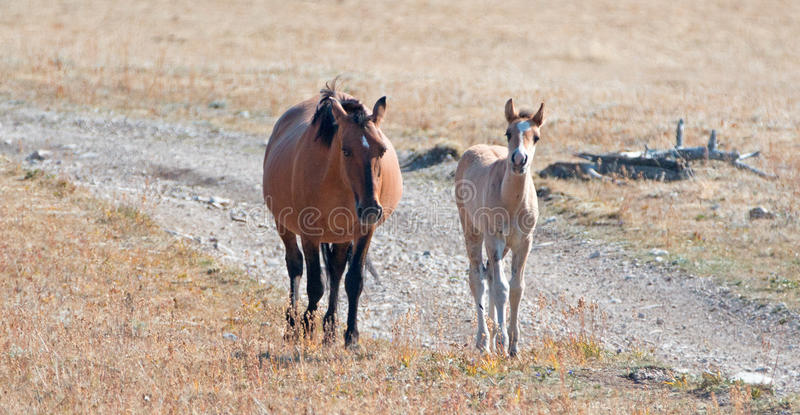 Potro curioso do Dun com Dun Mare Mother que anda acima de Sykes Ridge nas montanhas de Pryor de Wyoming - Montana fotos de stock