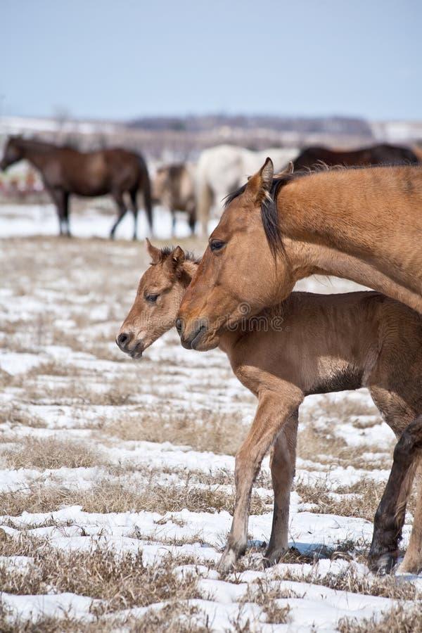 Potro da égua e do cavalo de um quarto fotos de stock
