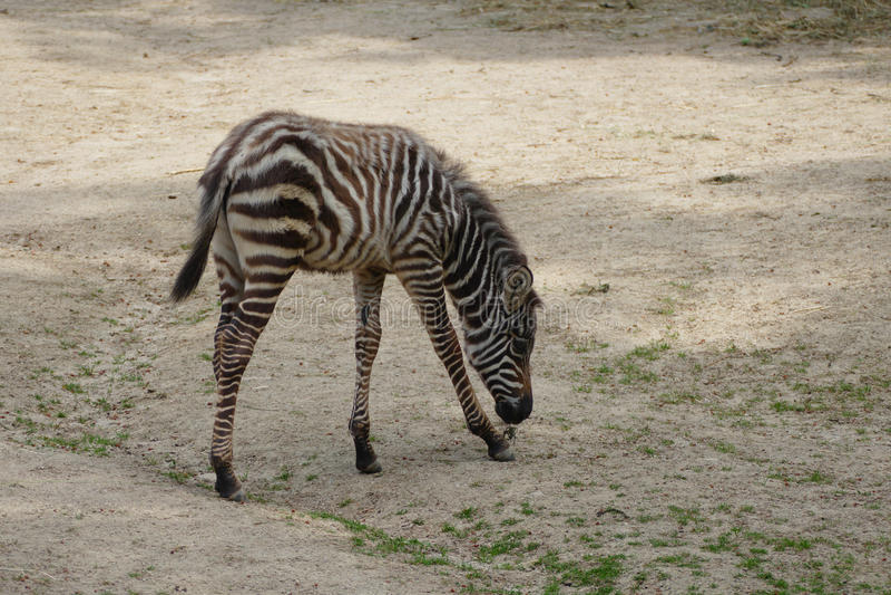 Potro da zebra fotos de stock