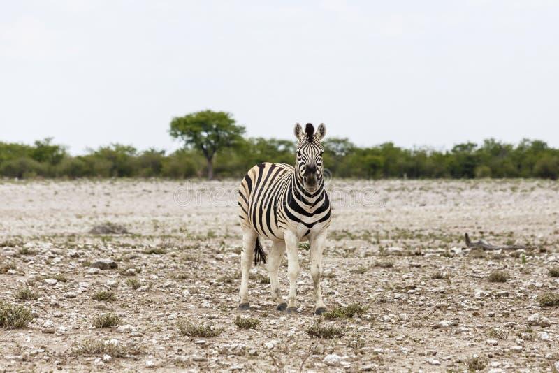 Potro da zebra das planícies, parque nacional de Etosha, Namíbia foto de stock royalty free
