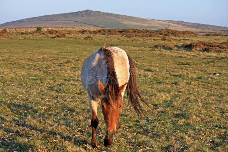 Potro de Dartmoor fotografía de archivo libre de regalías