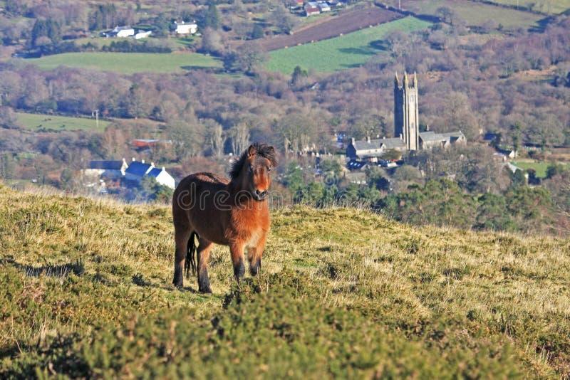 Potro de Dartmoor imagenes de archivo