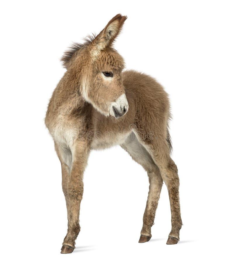 Potro del burro de Provence que parece detrás aislado en blanco fotografía de archivo libre de regalías