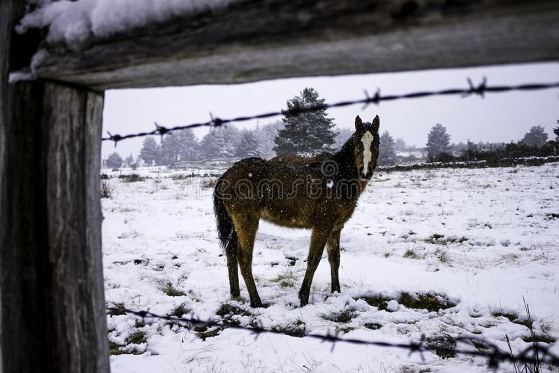 Potro del caballo en la nieve fotografía de archivo libre de regalías