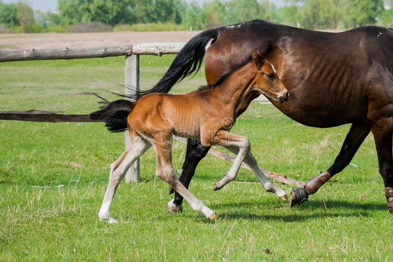 Potro del caballo que camina en un prado fotografía de archivo libre de regalías