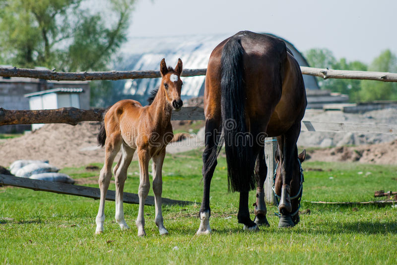 Potro del caballo que camina en un prado imágenes de archivo libres de regalías