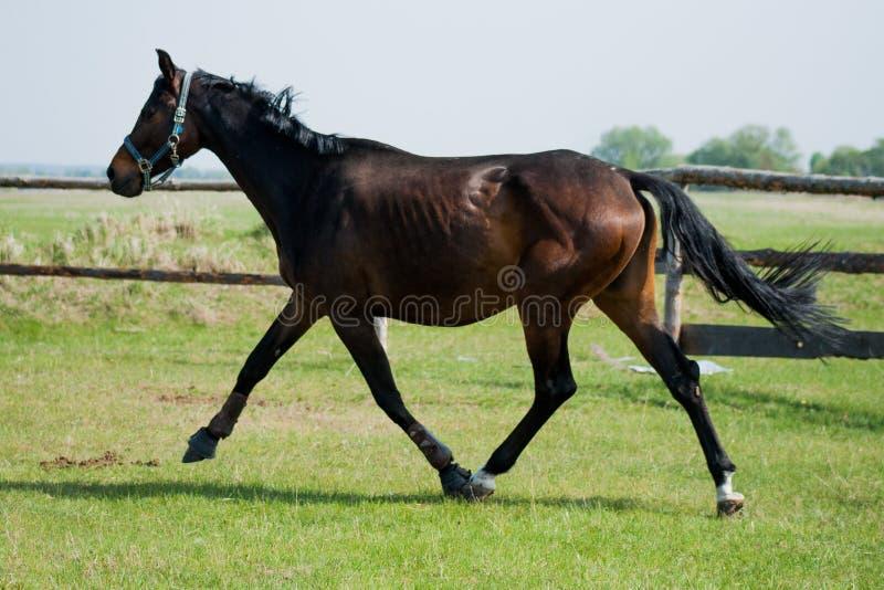 Potro del caballo que camina en un prado imagenes de archivo