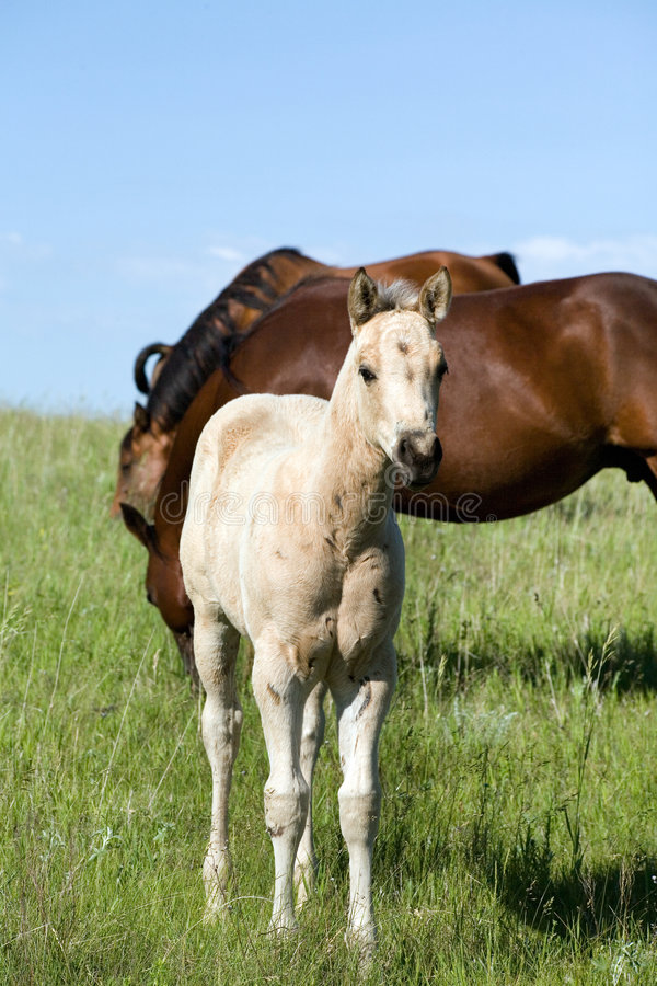 Potro do cavalo de um quarto fotografia de stock