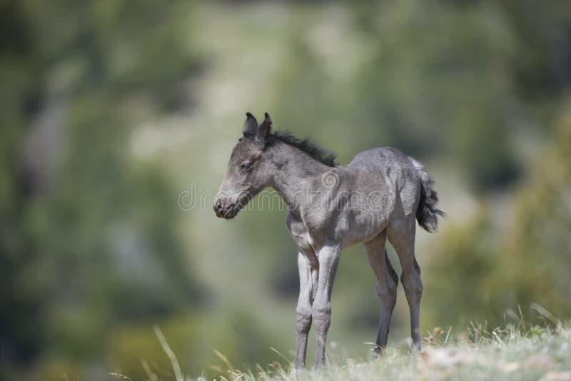 Potro do cavalo selvagem imagens de stock