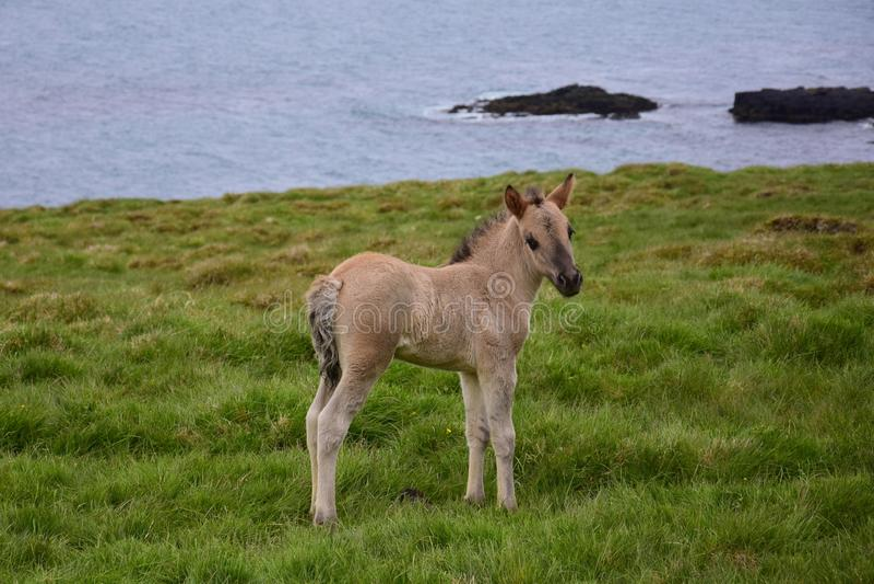Potro dun islandês bonito que olha na câmera foto de stock