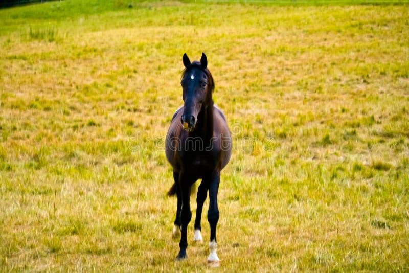Potro galés que corre y que se coloca en la alta hierba, melena larga, caballo marrón que galopa, situación marrón del caballo en imágenes de archivo libres de regalías
