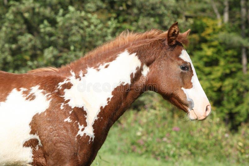 Potro magnífico del caballo de la pintura en la libertad imagen de archivo libre de regalías