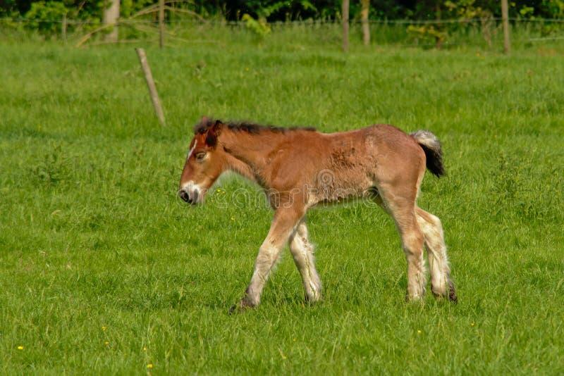 Potro marrom novo que anda em um prado verde ensolarado, vista lateral foto de stock royalty free