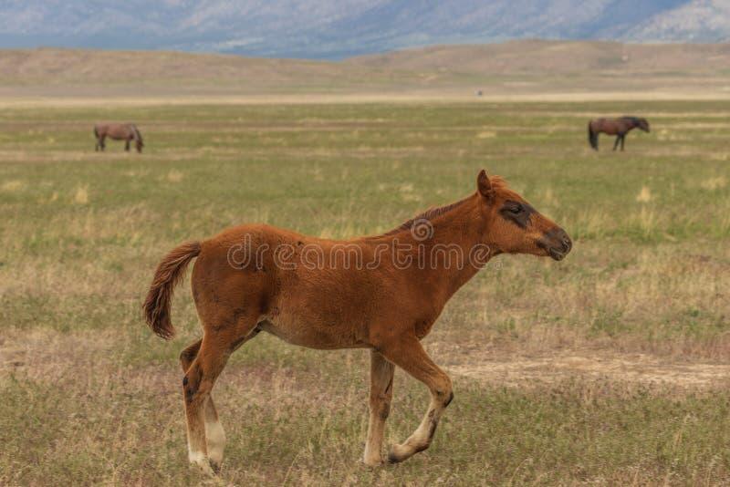 Potro novo bonito do cavalo selvagem imagem de stock