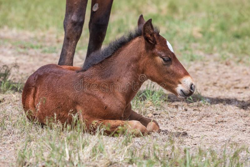 Potro novo bonito do cavalo selvagem colocado imagens de stock royalty free
