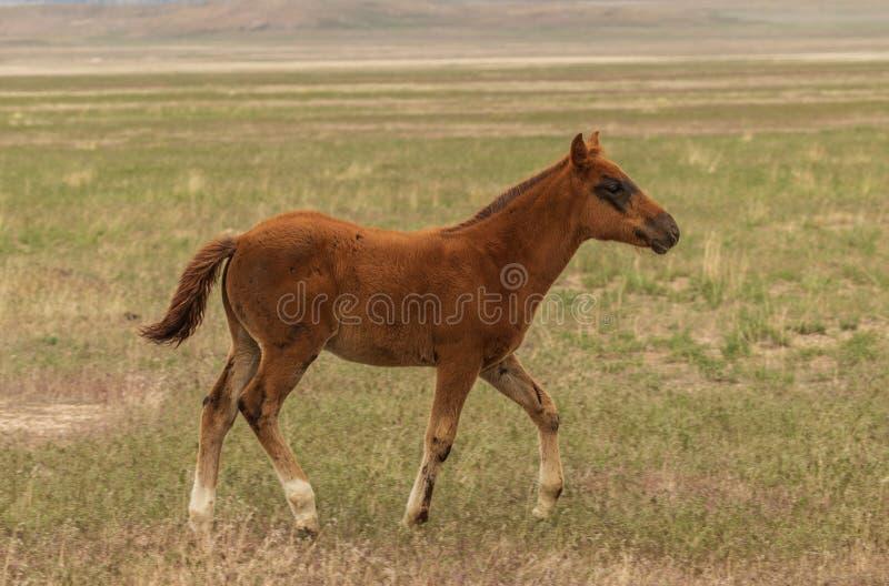 Potro novo do cavalo selvagem foto de stock royalty free