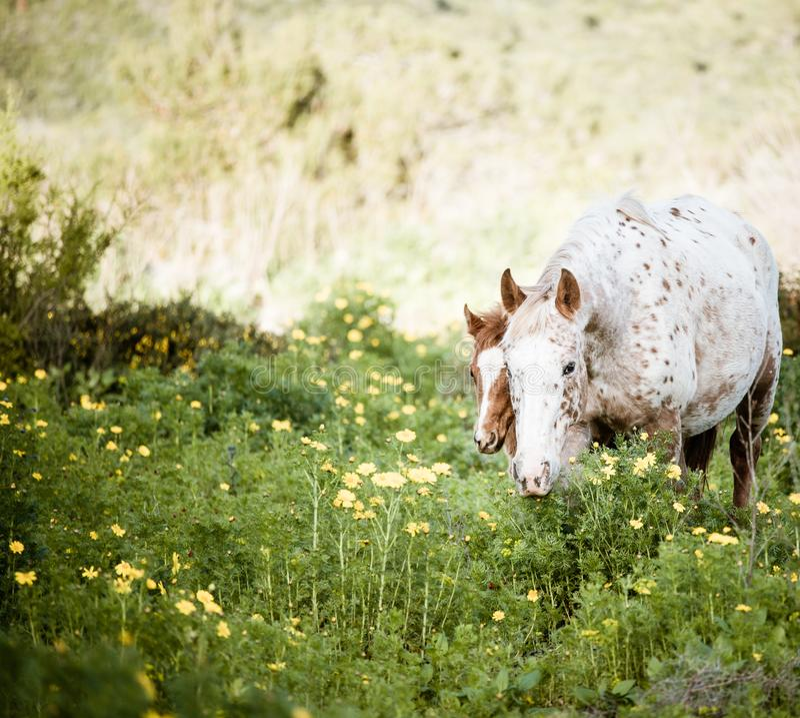 Potro novo e cavalo branco no prado de florescência fotos de stock royalty free