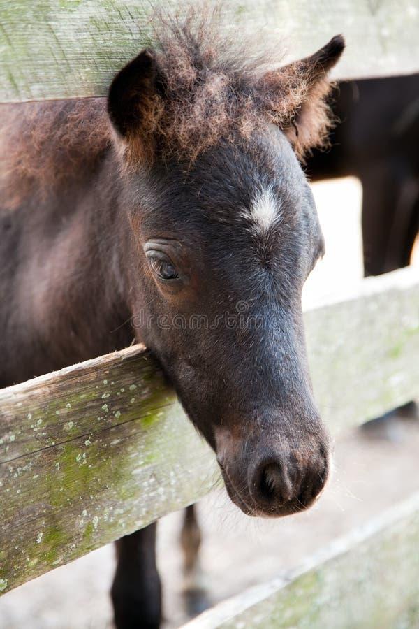 Potro Ou Potro Diminuto Do Cavalo Foto de Stock