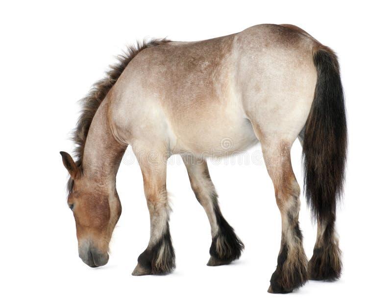 Potro pesado belga do cavalo, Brabancon fotografia de stock