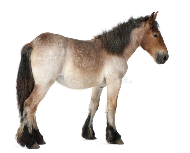 Potro pesado belga do cavalo, Brabancon foto de stock royalty free