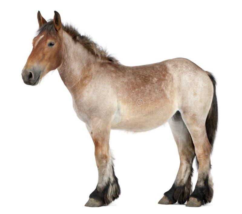 Potro pesado belga do cavalo, Brabancon, uma raça do cavalo de esboço foto de stock