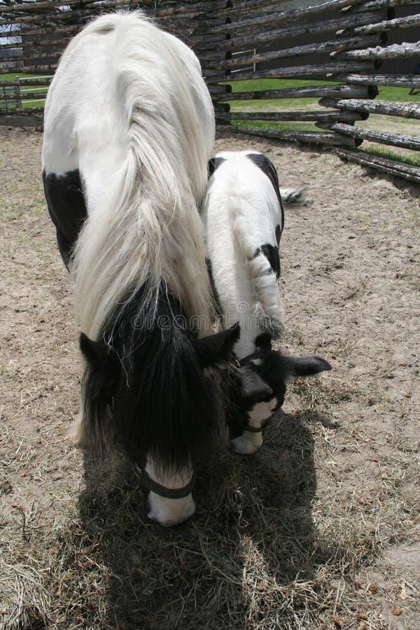 Potro preto e branco ao lado do cavalo da mamãe fotografia de stock royalty free