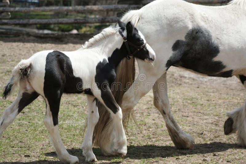 Potro preto e branco bonito e cavalo da mamãe fotos de stock
