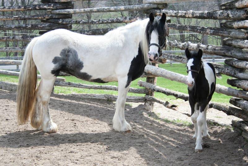 Potro preto e branco bonito e cavalo da mamãe fotografia de stock
