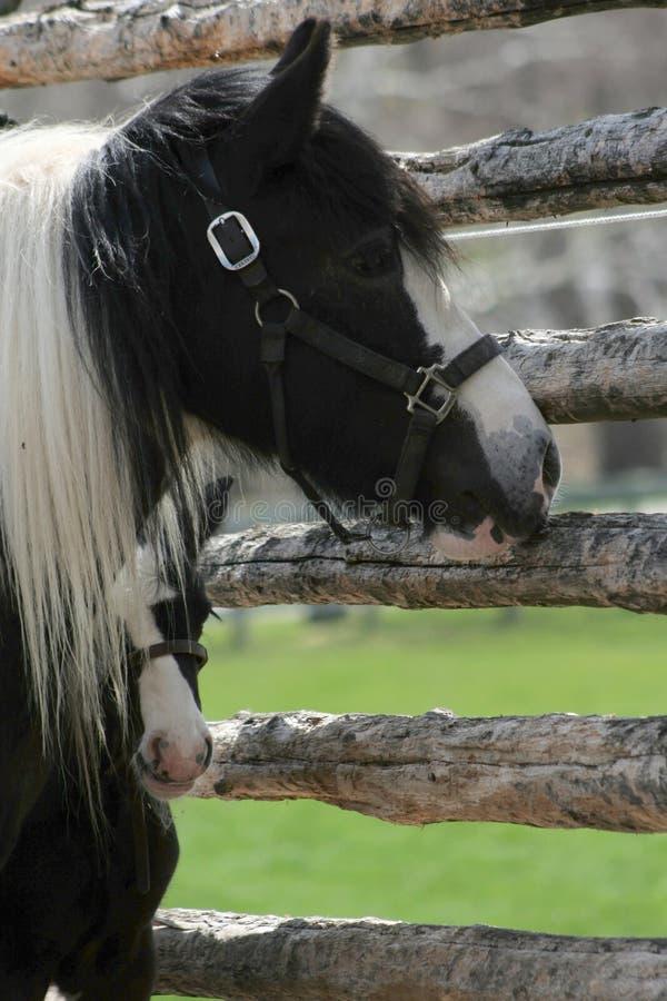 Potro preto e branco que espreita para fora do cavalo de trás da mamãe fotografia de stock royalty free