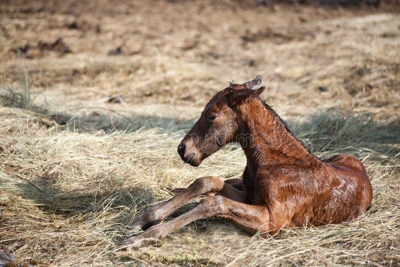 Potro recém-nascido fotografia de stock