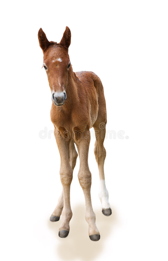 Potro recém-nascido imagem de stock royalty free