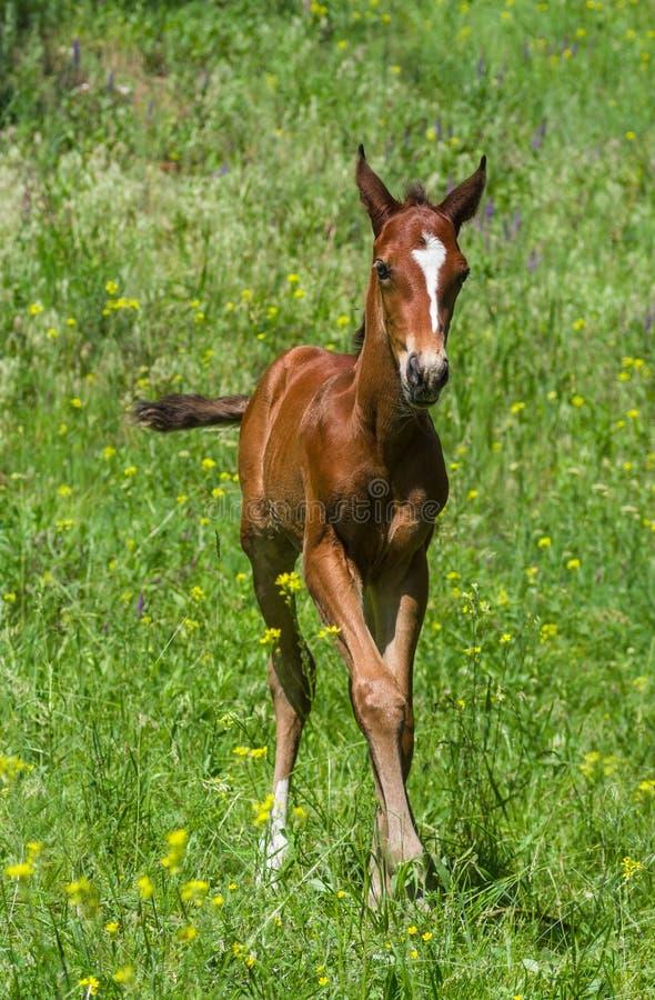 Potro recém-nascido em um pasto do verão fotografia de stock royalty free