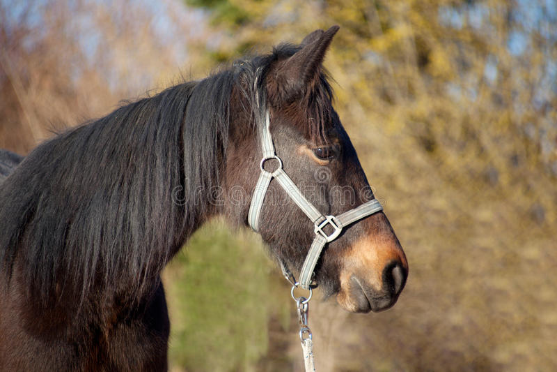 Potro, retrato novo do puro-sangue do cavalo imagem de stock