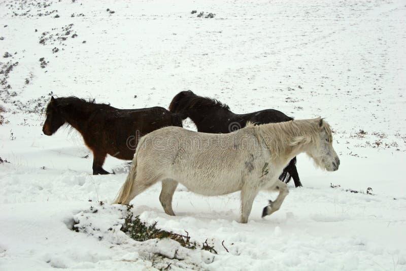 Potro salvaje de Dartmoor en la nieve imagenes de archivo