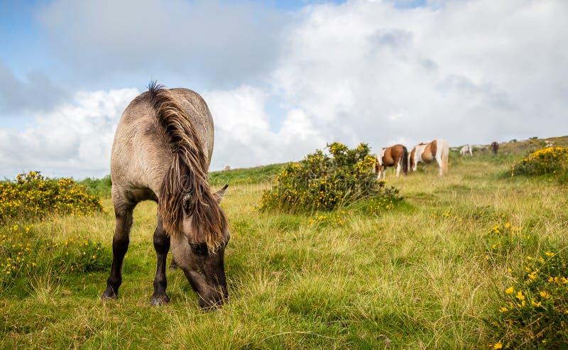 Potro salvaje de Dartmoor que pasta en hierba fotos de archivo libres de regalías