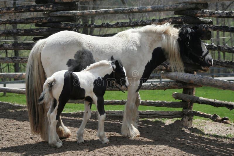 Potro y caballo blancos y negros lindos de la mamá foto de archivo libre de regalías