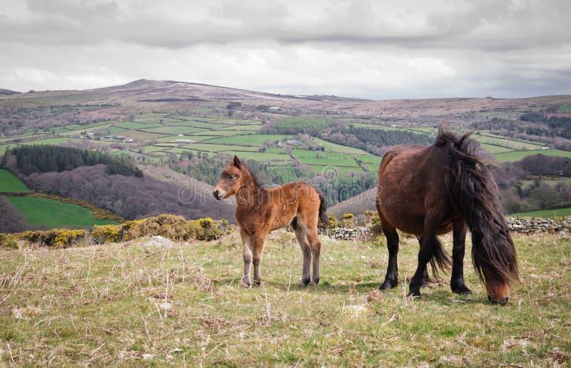 Potros de Dartmoor fotografía de archivo