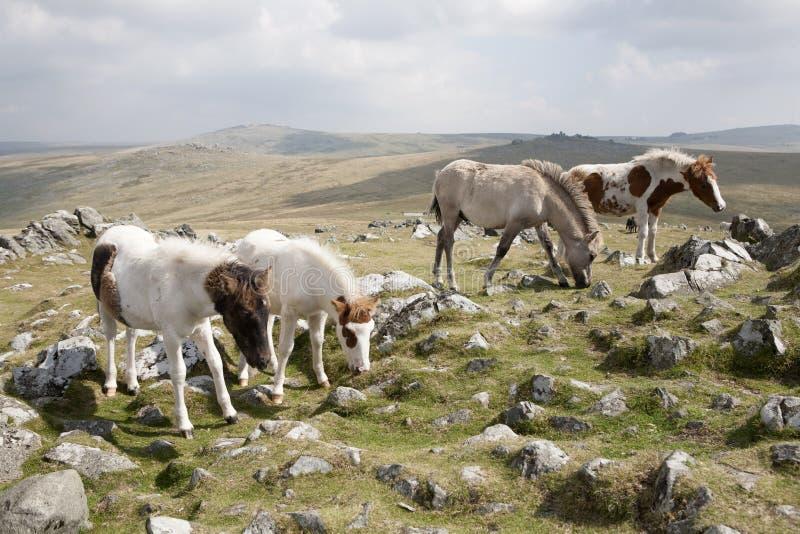 Potros de Dartmoor fotografía de archivo libre de regalías